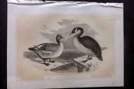 Bicknell 1850s Antique Bird Print. Common & Canadian Goose